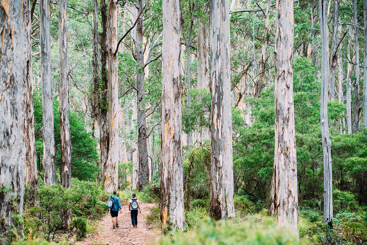 Walk through Boranup Forest on the Margaret River Cape to Cape Walk in Western Australia.