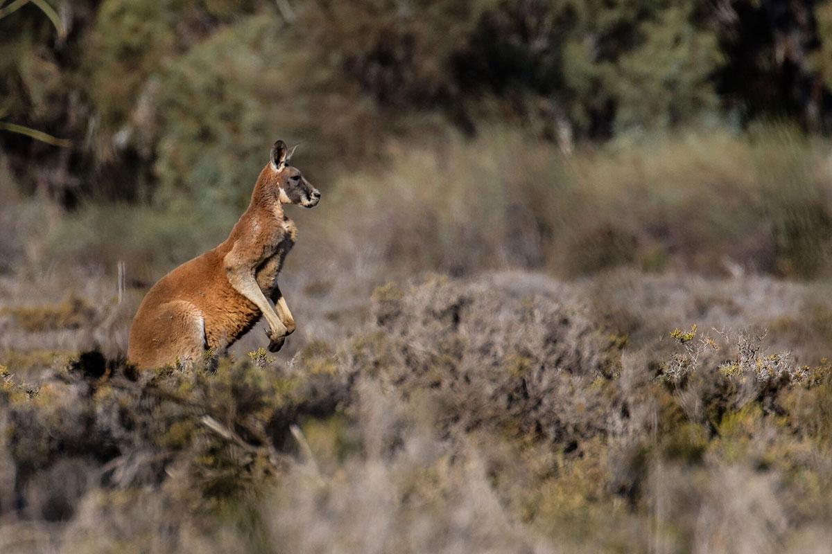 See kangaroos at Bulyong Island on the Murray River Walk in South Australia.