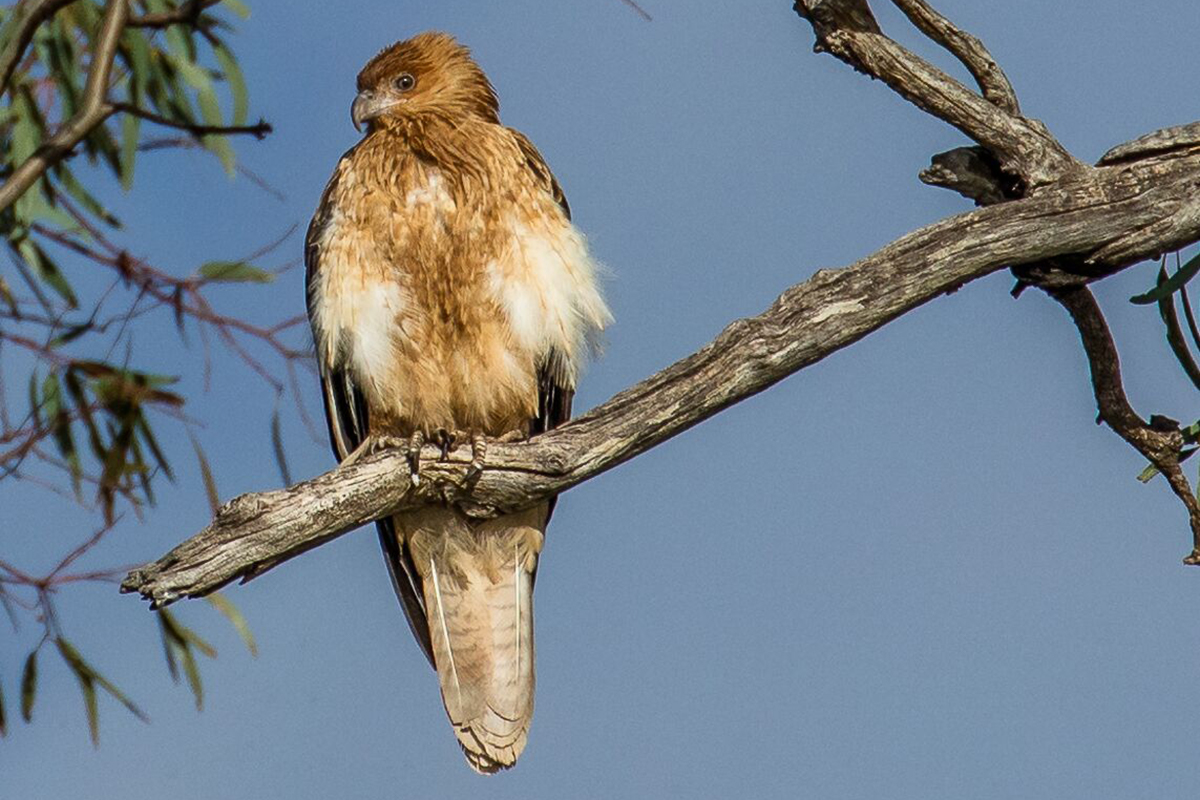 See Whistling Kites at Chowilla Creek with Great Walks of Australia on the Murray River Walk.